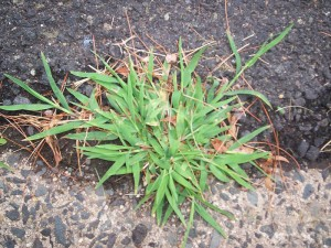 picture of crabgrass also known as finger grass