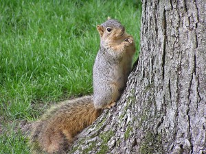 Squirrels are common causes of critter damage