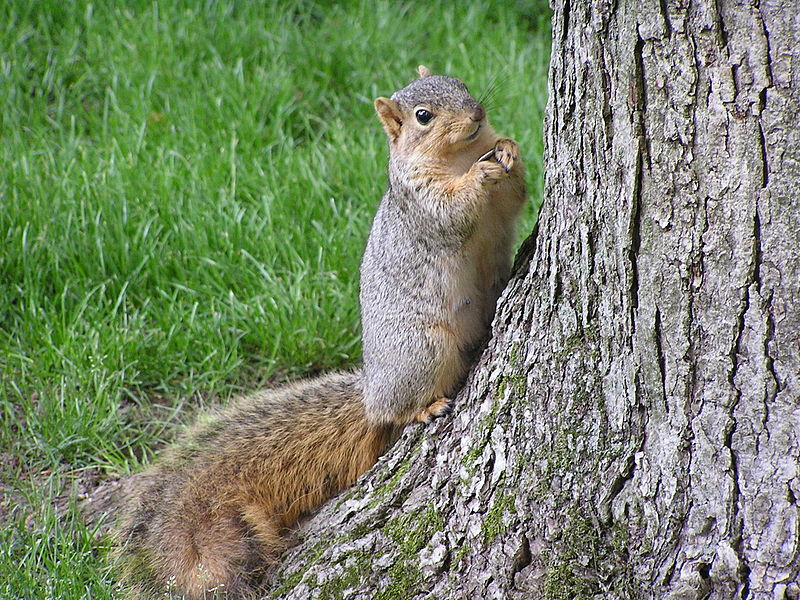 squirell on the lawn