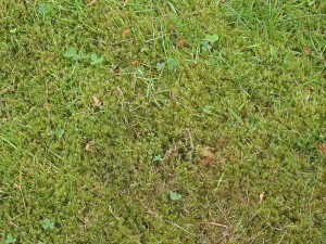 Moss growing in a lawn