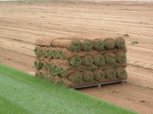 planting sod starts at the turf farm where sod is harvested and rolled