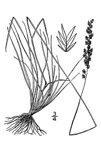 Fine fescue grass illustrations showing the grass seed types