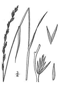 Perennial Ryegrass illustration showing it's growth patterns