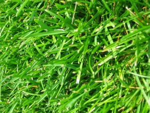 Mowing your lawn higher for green heath