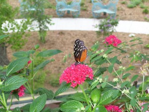 A Monarch Butterfly feeding in a butterfly garden.