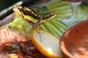 Butterfly feeding on fruit peels