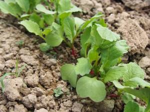 Radish seeds are small and it seems like there are a million in the pack.  Plant only what you need and stager your plantings.  Plant a few seeds each week so there will always be some ready.