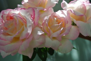 Peace hybrid tea roses with large double blossoms, a mixture of yellow and pink colors, and a noticeable fruity fragrance.