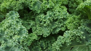 Kale is one of the easiest to grow leaf vegetables