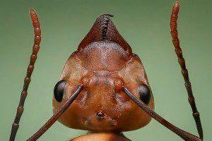 queen ant