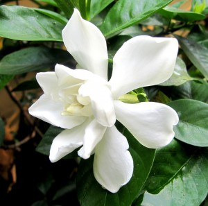 White flower on a Gardenia