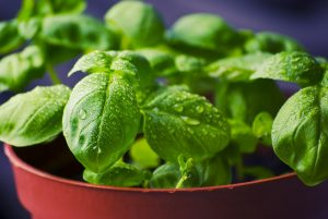 Growing basil in a flower pot